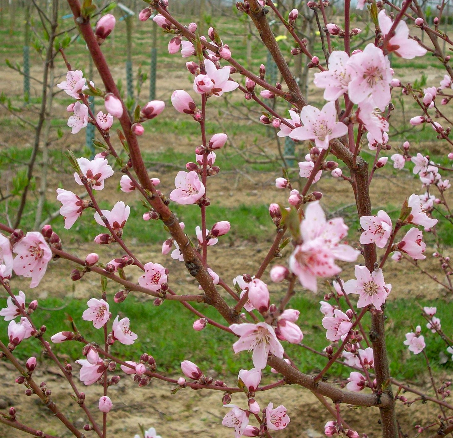 Frostempfindliche Obstbäume Pflanzen