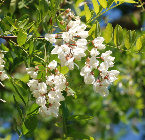 Robinia is the Tree of the Year 2020