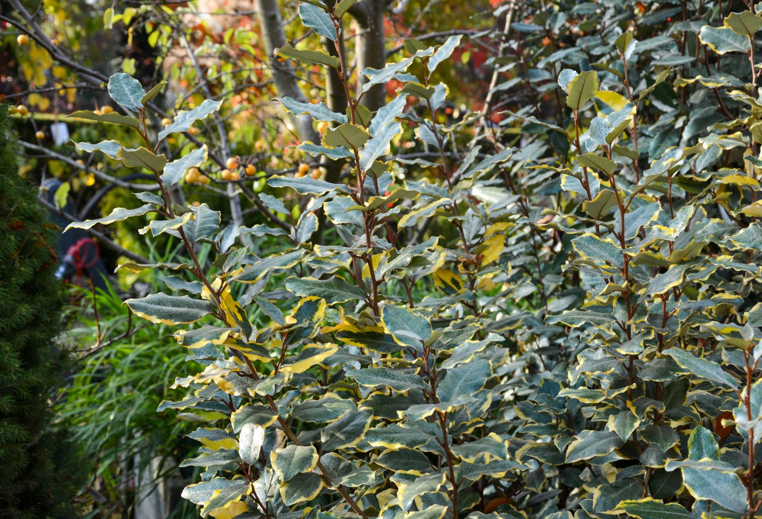 Plant of the Month February - Oleaster 'Vivileg'