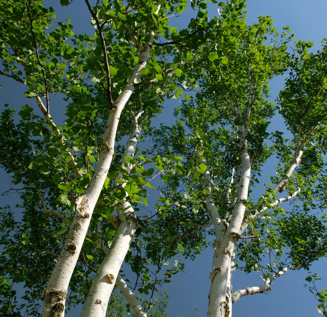 Plant of the Month December - Betula utilis