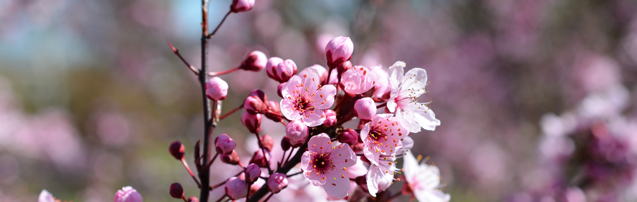 Plant of the Month April - the Purple Leaf Plum