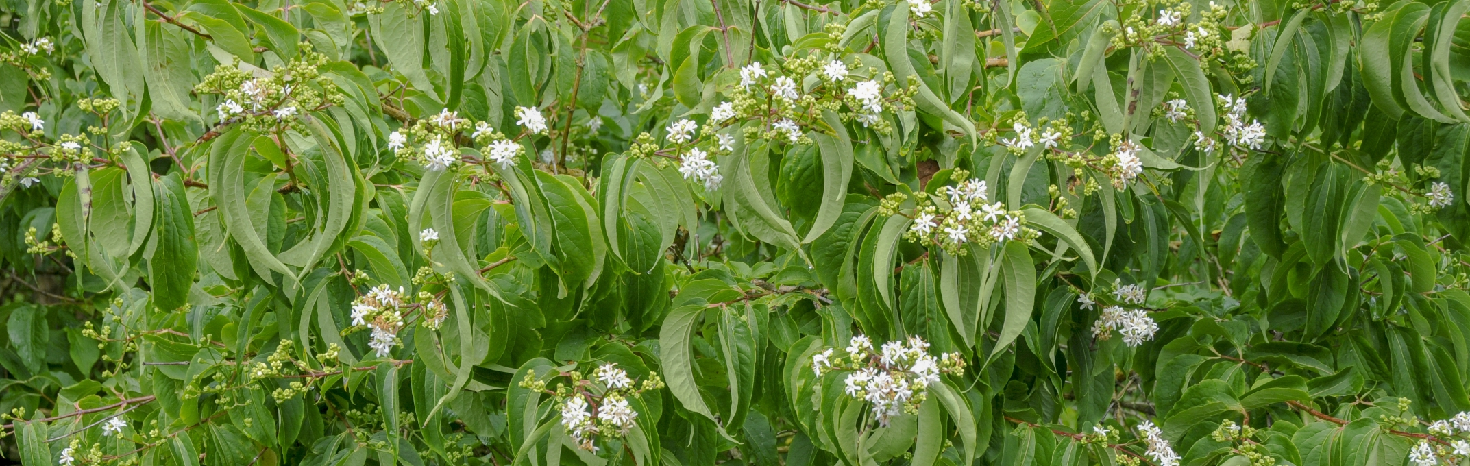 Plant of the Month September - Heptacodium miconioides