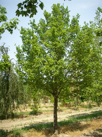 Acer Campestre Elsrijk Garden Design Ideas