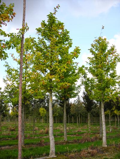 magnolienbaum kaufen groß