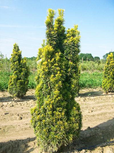 gelbe S/äuleneibe Taxus baccata Fastigiata Aureomarginata 40-50 cm hoch mit Ballen